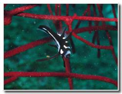 ホホスジタルミ幼魚