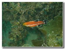 コブダイ幼魚