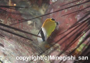 チョウチョウウオの幼魚