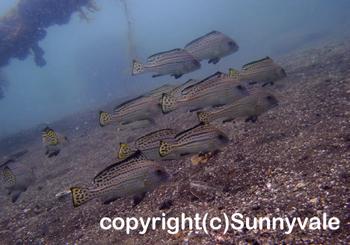コロダイ若魚