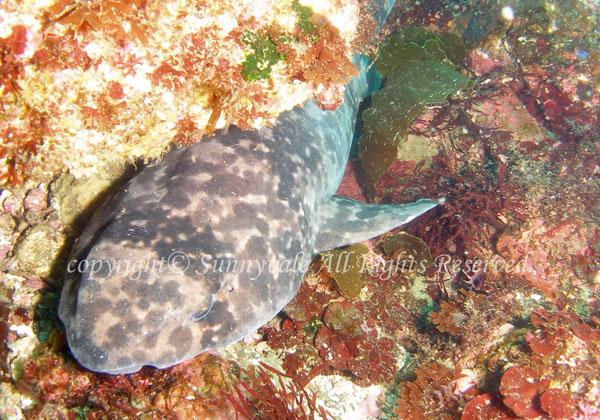 ナヌカザメの写真