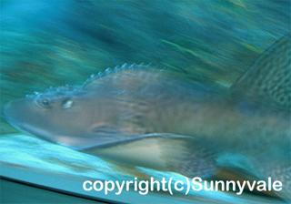 シノノメサカタザメの写真