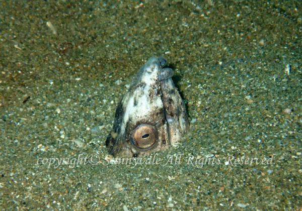 ホタテウミヘビの写真