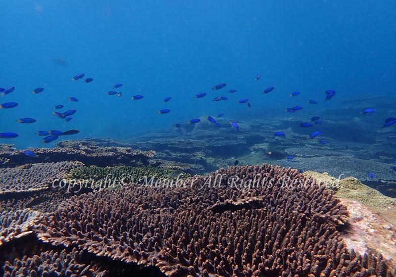 「サンゴ」 わーさん