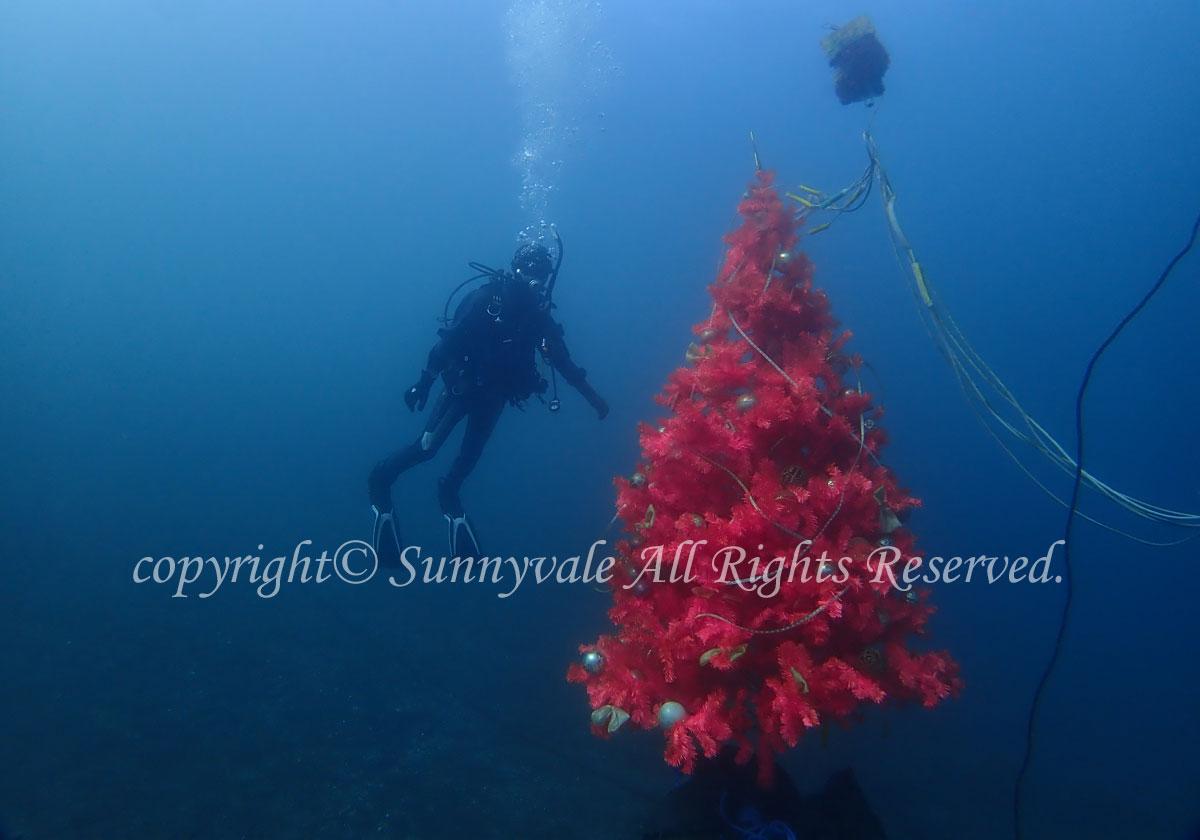 大瀬崎で、水中クリスマスツリー