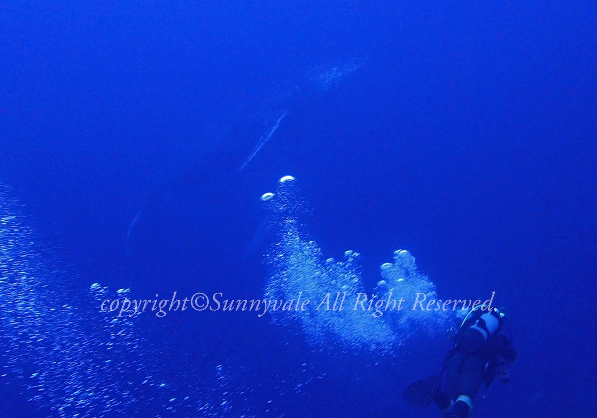 今年最後のダイビング、ザトウクジラ登場