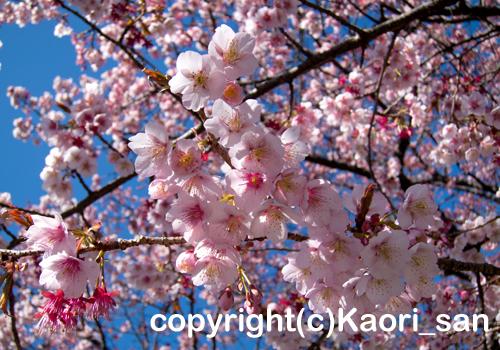 「河津桜」 かおりさん撮影
