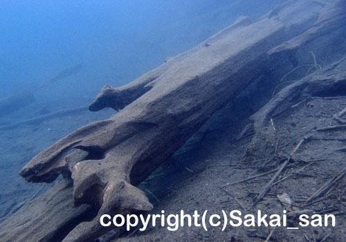 「沈木」 さかいさん撮影