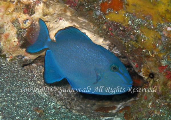 アカモンガラ 幼魚