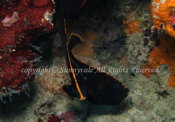 アカククリ 幼魚