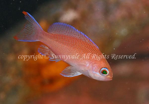 アカオビハナダイ・幼魚