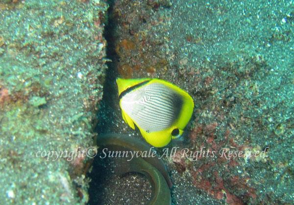 アケボノチョウチョウウオ幼魚