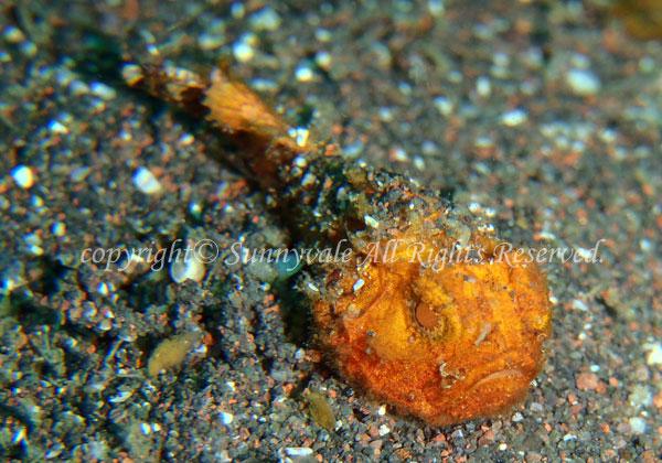 ダルマオコゼ・幼魚