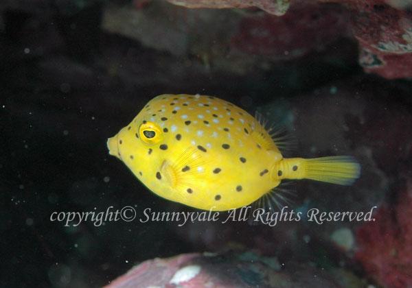 ハコフグ 幼魚