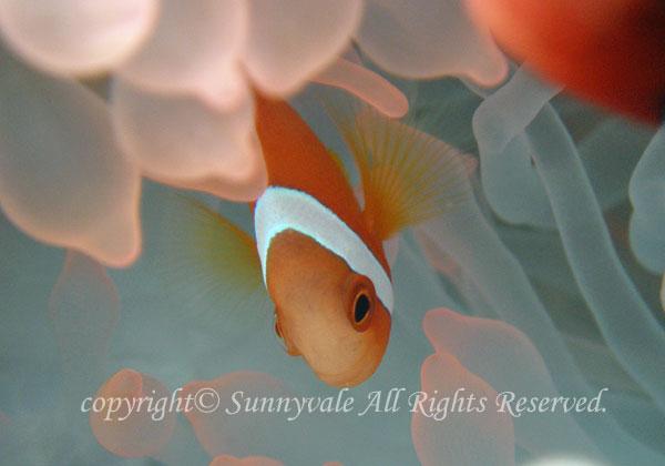 ハマクマノミ 幼魚