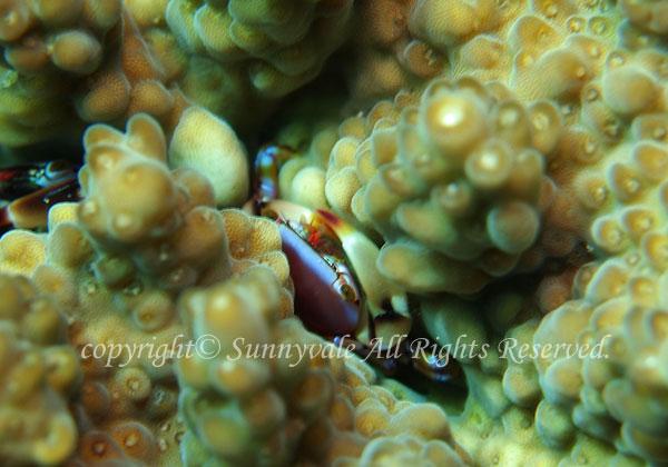 ヒメサンゴガニ属の一種