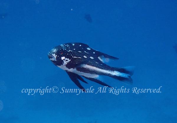 ホホスジタルミ 若魚