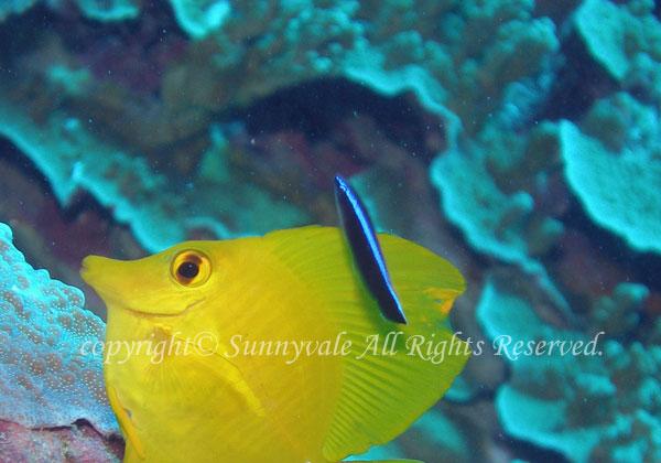 ホンソメワケベラ 幼魚