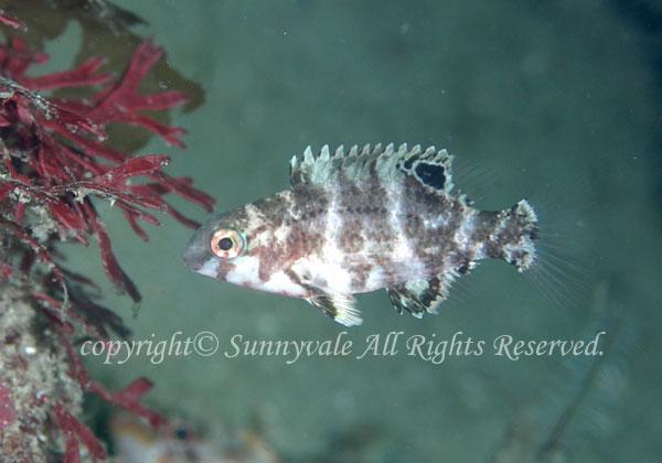 イラ 幼魚