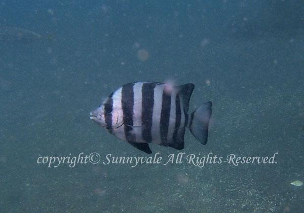 イシダイ 幼魚