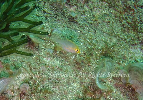 イトフエフキ幼魚