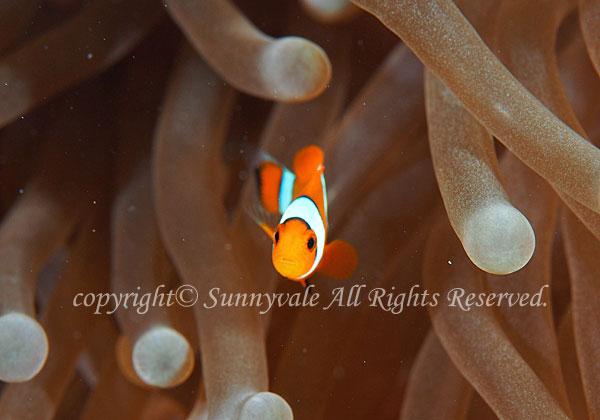 カクレクマノミ 幼魚