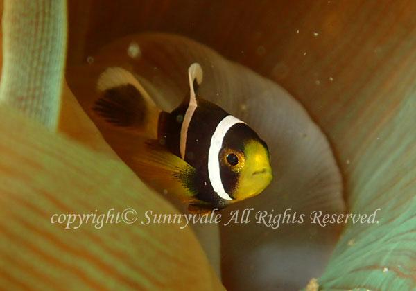 クマノミ 幼魚