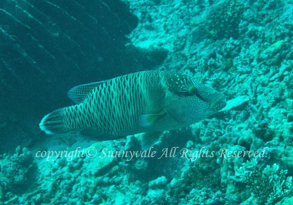 メガネモチノウオ(ナポレオンフィッシュ)若魚
