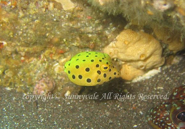 ミナミハコフグ 幼魚