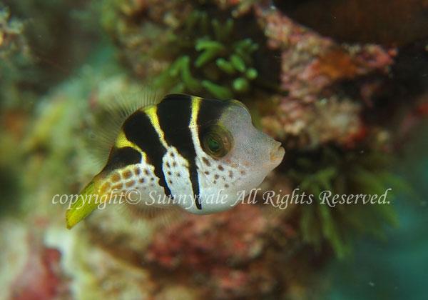 ノコギリハギ  幼魚