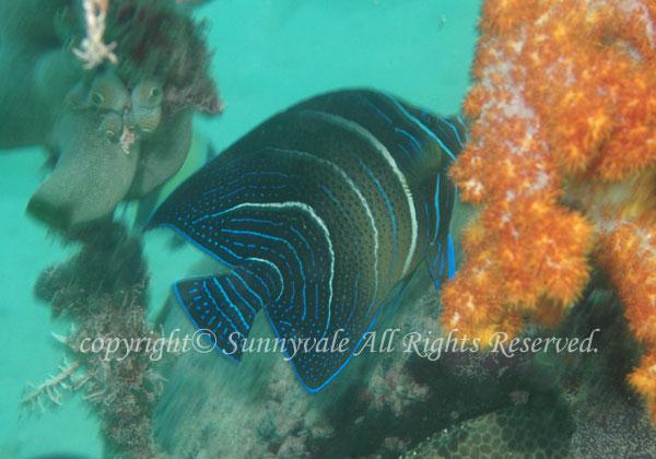サザナミヤッコ若魚