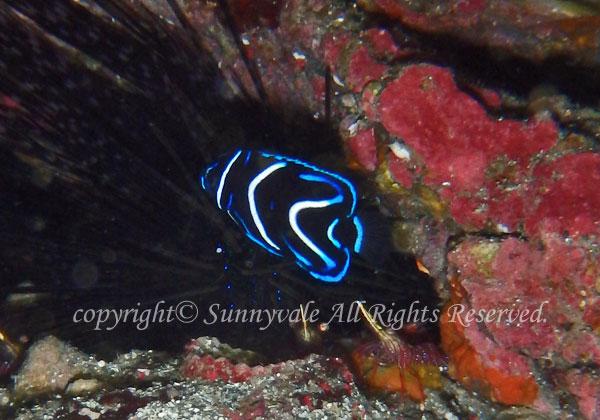 サザナミヤッコ幼魚
