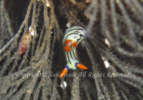 セトリュウグウウミウシ 幼体