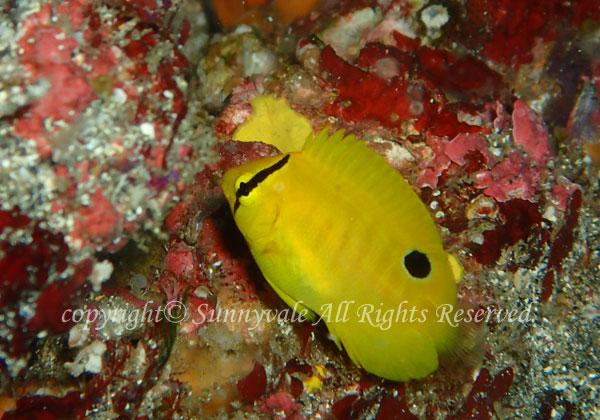 シテンヤッコ 幼魚