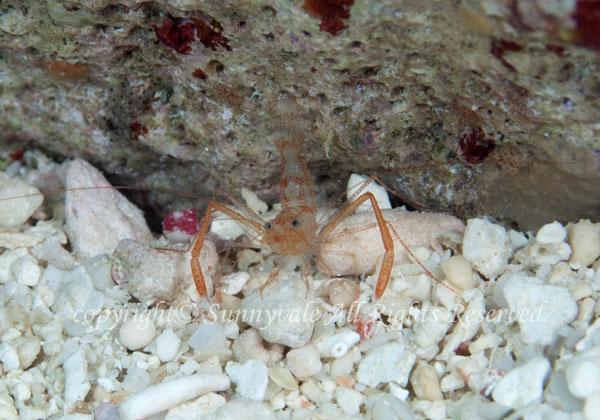 スベスベオトヒメエビ属の一種