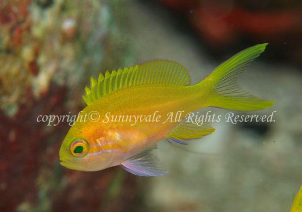 スミレナガハナダイ・幼魚