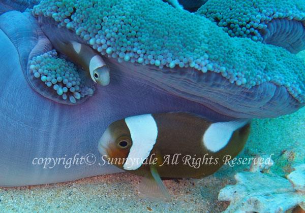 トウアカクマノミ 幼魚