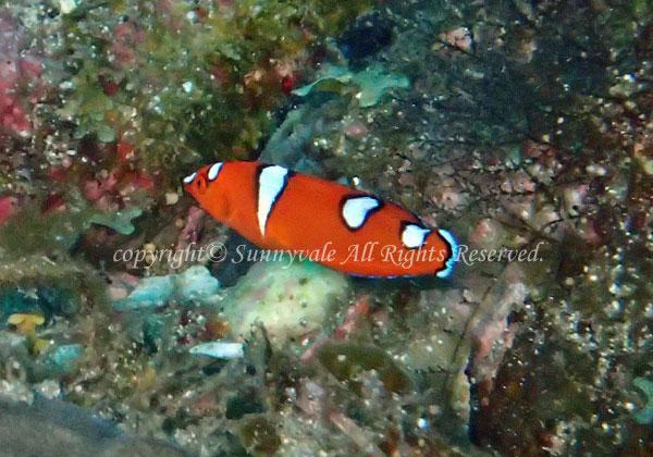ツユベラ 幼魚