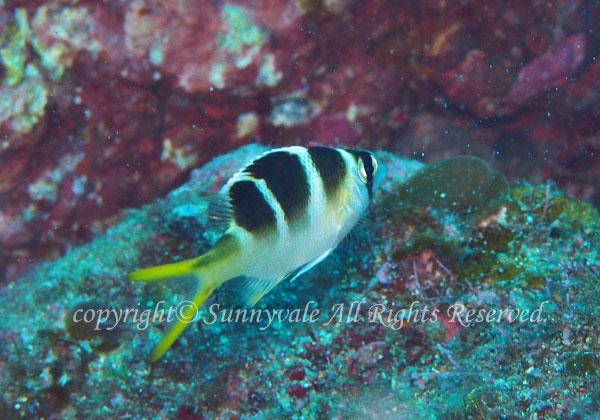ヨコシマクロダイ 幼魚