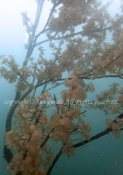 水中でお花見