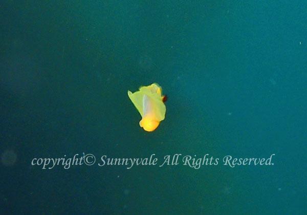 泳ぐキイロウミコチョウ